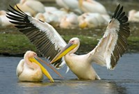 "Two Great white pelicans wading in a lake, Lake Nakuru, Kenya (Pelecanus onocrotalus) by Panoramic Images - 24"" x 16"" - $35.49"