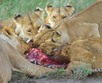"""Five lions eating a dead zebra, Ngorongoro Conservation Area, Arusha Region, Tanzania (Panthera leo) by Panoramic Images - 24"""" x 20"""""""