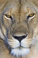 "Close-up of a lioness, Masai Mara National Reserve, Kenya (Panthera leo) by Panoramic Images - 16"" x 24"""