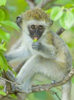 "Vervet monkey sitting on a branch, Tarangire National Park, Arusha Region, Tanzania (Chlorocebus pygerythrus) by Panoramic Images - 18"" x 24"""