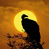 "Silhouette of a vulture perching on a branch, Masai Mara National Reserve, Kenya by Panoramic Images - 24"" x 24"""