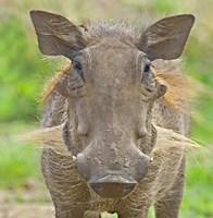 "Close-up of a warthog, Lake Manyara, Arusha Region, Tanzania (Phacochoerus aethiopicus) by Panoramic Images - 24"" x 24"""
