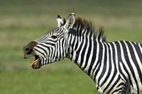 "Side profile of a zebra braying, Ngorongoro Conservation Area, Arusha Region, Tanzania (Equus burchelli chapmani) by Panoramic Images - 16"" x 11"""