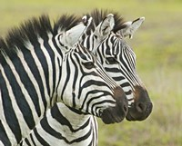 "Close-up of two zebras, Ngorongoro Conservation Area, Arusha Region, Tanzania (Equus burchelli chapmani) by Panoramic Images - 16"" x 13"""