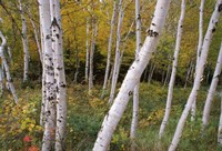 """White Birch Trees by Panoramic Images - 16"""" x 11"""""""