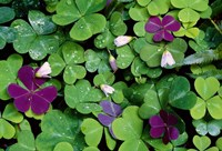 """Wood Sorrel Plants by Panoramic Images - 16"""" x 11"""""""