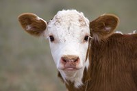 "Calf Portrait by Panoramic Images - 16"" x 11"" - $23.99"