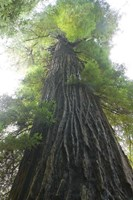 Low-Angle View Of Redwood Tree Fine Art Print