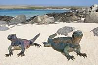 "Two Marine iguanas (Amblyrhynchus cristatus) on sand, Galapagos Islands, Ecuador by Panoramic Images - 16"" x 11"" - $23.99"