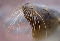 Close-up of a Galapagos Sea Lion, Galapagos Islands, Ecuador Fine Art Print