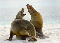 Two Galapagos sea lions (Zalophus wollebaeki) on the beach, Galapagos Islands, Ecuador Fine Art Print