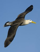 """Waved albatross (Diomedea irrorata) flying in the sky, Galapagos Islands, Ecuador by Panoramic Images - 12"""" x 16"""""""