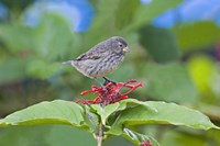 """Close-up of a Small Ground-finch (Geospiza fuliginosa) perching on a plant, Galapagos Islands, Ecuador by Panoramic Images - 16"""" x 11"""", FulcrumGallery.com brand"""