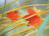 "Two fall orange fall leaves amid yellow reeds with out of focus green background by Panoramic Images - 24"" x 18"", FulcrumGallery.com brand"