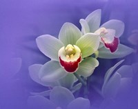 """Waxy white orchids with fuchsia centers floating in purple water by Panoramic Images - 24"""" x 19"""""""