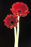 Close up of two deep red flowers with white stems on black background Fine Art Print