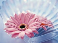 """Close up of two pink gerbera daisies in water ripples by Panoramic Images - 36"""" x 26"""""""