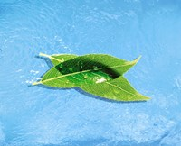 """Two crossed green leaves floating in shallow blue water by Panoramic Images - 36"""" x 30"""" - $58.99"""
