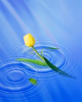 """Single yellow tulip rising from water ripples by Panoramic Images - 29"""" x 36"""", FulcrumGallery.com brand"""