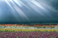 """Field of multicolored flowers with streaks of white light rays by Panoramic Images - 36"""" x 24"""""""