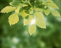 "Spring Green Leaves by Panoramic Images - 24"" x 19"""
