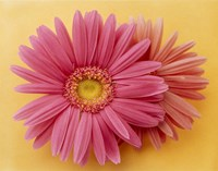 """Close up of two pink zinnias on yellow gold background by Panoramic Images - 36"""" x 28"""""""