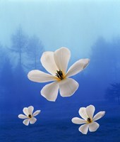 Three white orchids floating in foggy blue sky with silhouette of trees in background Fine Art Print