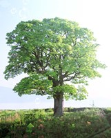 """Single green tree standing in field with blue sky by Panoramic Images - 29"""" x 36"""", FulcrumGallery.com brand"""