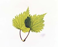 """Close-Up of Green Leaves II by Panoramic Images - 16"""" x 13"""""""