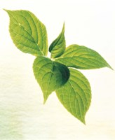 """Close-Up of Green Leaves IV by Panoramic Images - 13"""" x 16"""""""