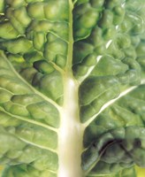 """Close up of bumpy vegetable leaf with white stalk by Panoramic Images - 13"""" x 16"""""""