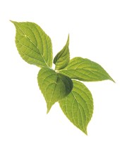 """Close up of green leaves on pale green and white by Panoramic Images - 14"""" x 16"""", FulcrumGallery.com brand"""