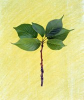 """Close up of green leaves with brown branch on pale yellow by Panoramic Images - 14"""" x 16"""""""