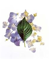 Close up of green leaf and lavender flower petals scattered on white Fine Art Print