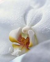 """Close up of center of white orchid with yellow center by Panoramic Images - 13"""" x 16"""""""