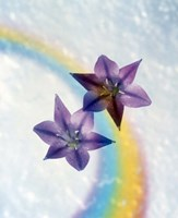 """Two violet flower on white blue and yellow background by Panoramic Images - 13"""" x 16"""""""