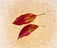 """Two red leaves on pink background by Panoramic Images - 16"""" x 14"""""""