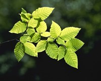 """Striped Leaves on Branch by Panoramic Images - 16"""" x 13"""""""