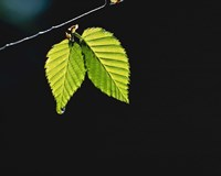 """Two green leaves on thin branch on black by Panoramic Images - 16"""" x 13"""" - $24.99"""