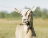 """Close-up of a goat, goat cheese farm, Vancouver, Washington by Panoramic Images - 24"""" x 20"""""""