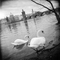 Two swans in a river, Vltava River, Prague, Czech Republic Fine Art Print