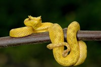 Close-up of an Eyelash viper (Bothriechis schlegelii), Arenal Volcano, Costa Rica Fine Art Print