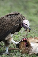 """Lappet-Faced vulture (Torgos tracheliotus) eating a wildebeest calf, Masai Mara National Reserve, Kenya by Panoramic Images - 16"""" x 24"""""""
