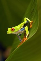 Close-up of a Red-Eyed Tree frog (Agalychnis callidryas) sitting on a leaf, Costa Rica Fine Art Print