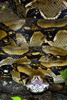 Close-up of a Boa Constrictor, Arenal Volcano, Costa Rica Fine Art Print