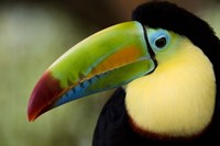 """Close-up of Keel-Billed toucan (Ramphastos sulfuratus), Costa Rica by Panoramic Images - 16"""" x 11"""", FulcrumGallery.com brand"""