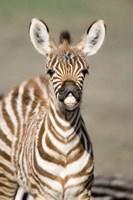 "Close-up of a Burchell's zebra foal (Equus burchelli), Ngorongoro Crater, Ngorongoro, Tanzania by Panoramic Images - 16"" x 24"""