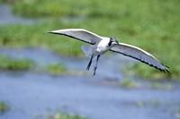 """Sacred ibis (Threskiornis aethiopicus) in flight, Ngorongoro Crater, Ngorongoro, Tanzania by Panoramic Images - 16"""" x 11"""" - $23.99"""