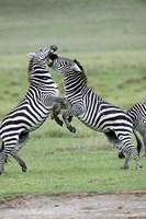 "Burchell's zebras (Equus burchelli) fighting in a field, Ngorongoro Crater, Ngorongoro, Tanzania by Panoramic Images - 16"" x 24"", FulcrumGallery.com brand"