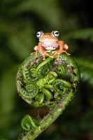 """Close-up of a Blue-Eyed Tree frog on a fern frond, Andasibe-Mantadia National Park, Madagascar by Panoramic Images - 16"""" x 24"""""""
